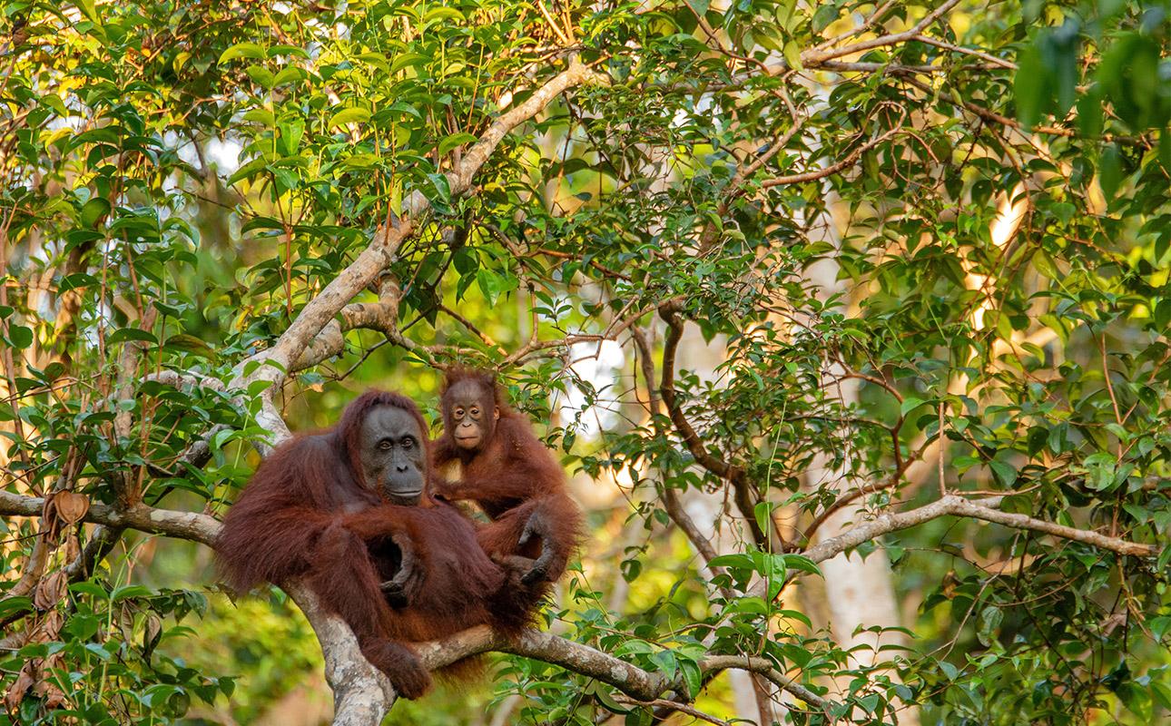 Orang Outan installés dans un arbre