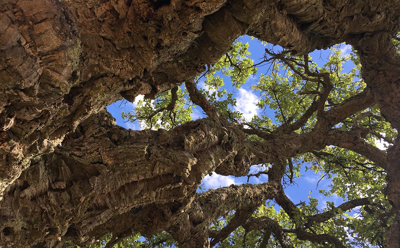 un chêne liège vu du dessous