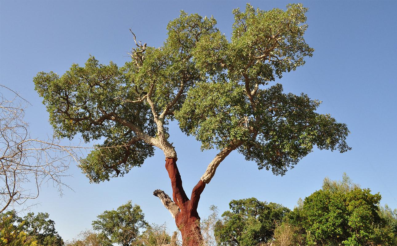 un grand chêne liège